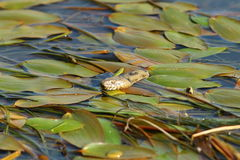 Dice snake hiding amongst water lilies Royalty Free Stock Image