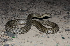 Dice snake  (Natrix tassellata) Stock Photography