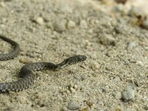 Dice snake, Natrix tessellata. Bulgaria, April 2019 stock images