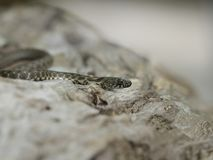 Dice snake, Natrix tessellata. Bulgaria, April 2019 stock photos