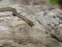 Dice snake, Natrix tessellata. Bulgaria, April 2019 stock image