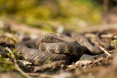 Dice snake Natrix tessellata in Czech Republic stock image