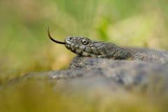Dice snake Natrix tessellata in Czech Republic stock photo