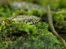 Dice snake, Natrix tessellata. Bulgaria, April 2019 royalty free stock photography