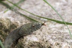 Dice snake (Natrix tessellata) Royalty Free Stock Image