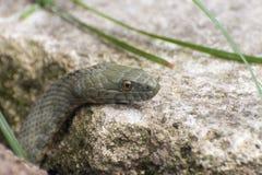 Dice snake (Natrix tessellata) Stock Photo