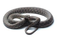 Dice snake (Natrix tessellata) isolated on white Stock Images