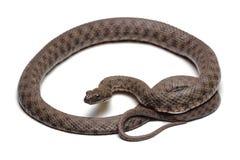 Dice snake (Natrix tessellata) isolated on white Stock Photos