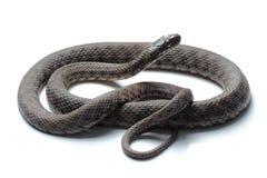 Dice snake (Natrix tessellata) isolated on white Royalty Free Stock Image