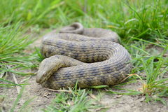 Dice snake (Natrix tessellata). In its natural habitat stock image