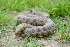 Dice snake (Natrix tessellata) Stock Image