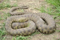 Dice snake (Natrix tessellata) Stock Images