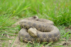 Dice snake (Natrix tessellata) Royalty Free Stock Photos