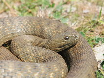 Dice snake Natrix tessellata Royalty Free Stock Photos