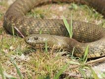 Dice snake Natrix tessellata Stock Photo