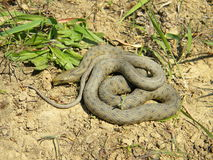 Natrix tessellata - Dice snake - Stock Images