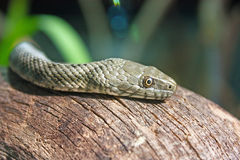 The dice snake. Natrix tessellata, is a nonvenomous snake, close-up stock image
