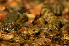Dice snake - Natrix tessellata Royalty Free Stock Photography