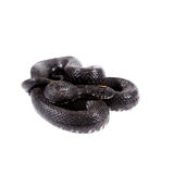Dice snake, Natrix tessellata, on white Royalty Free Stock Photography