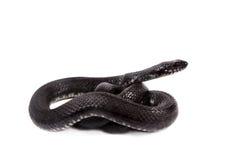 Dice snake, Natrix tessellata, on white Stock Photos