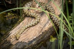 A dice snake resting on a piece of wood near a pond royalty free stock photography