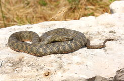 Dice snake resting in sun light. Dice snake resting on rock in sun light royalty free stock images