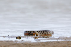 Dice snake at shallow water Royalty Free Stock Photo