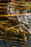 Dice snake in the water. Camouflaged among autumn grass royalty free stock image