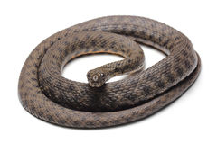 Dice snake (Natrix tessellata) isolated on white Royalty Free Stock Photography