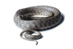 Dice snake (Natrix tessellata) isolated on white Royalty Free Stock Photo