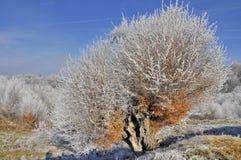 Dicembre ha glassato il vecchio albero Fotografia Stock Libera da Diritti