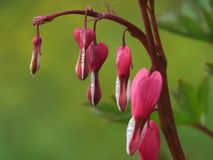 Dicentra όμορφο Μαλακό ρόδινο λουλούδι, πλήρως που δικαιολογεί το όνομά του στοκ φωτογραφία με δικαίωμα ελεύθερης χρήσης