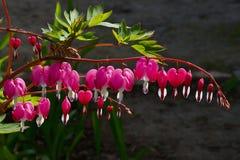 Dicentra πανέμορφο ή αιμορραγώντας καρδιές λουλουδιών Στοκ Φωτογραφίες