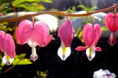Dicentra, a beautiful flowering plant with flowers in the shape of a heart in a garden on a sunny day close-up. Flower royalty free stock image