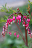 Dicentra Bleeding Heart Royalty Free Stock Photography