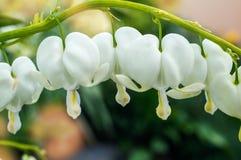 Dicentra de fleurs blanches avec des baisses de rosée Foyer sélectif images stock