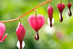 Dicentra - fleurs de coeur de purge Image libre de droits