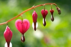 Dicentra - fleurs de coeur de purge Photographie stock libre de droits