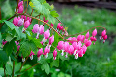 Dicentra Royalty Free Stock Photo