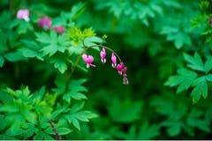 Dicentra Spectabilis, цветок чуткого человека Стоковая Фотография