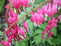 Dicentra spectabilis Royalty Free Stock Image