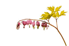 Dicentra spectabilis Royalty Free Stock Images