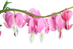 Dicentra spectabilis. Royalty Free Stock Photography