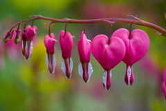Dicentra spectabilis in bloom Stock Images