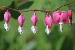 Dicentra Spectabilis-Blumen Lizenzfreie Stockbilder