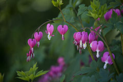 Dicentra spectabilis (Broken Heart) pink flowers Stock Photo
