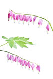Dicentra spectabilis flower Royalty Free Stock Photography