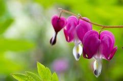 Dicentra spectabilis formten asiatische blutende Herzen, Herz Blumen stockfoto