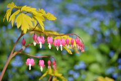 Dicentra spectabilis Gold Heart Stock Images