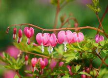 Dicentra spectabilis - Lamprocapnos spectabilis Royalty Free Stock Photography